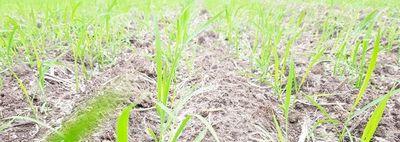 Una promisoria producción de arroz en  la actual zafra