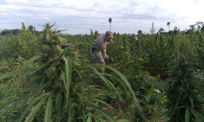 Gobierno reglamenta producción del  cannabis dentro de la agricultura familiar