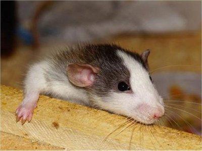 Estudio en animales halla daño cerebral en crías maltratadas
