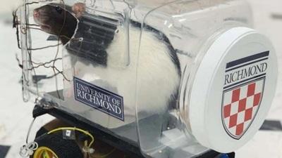 Ratas de laboratorio aprenden a conducir vehículo (video)