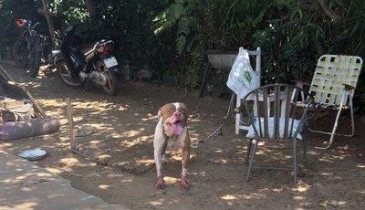 Otro ataque de pitbull, esta vez contra una abuela
