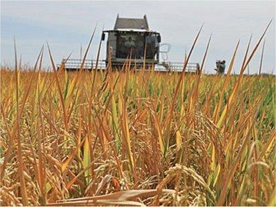 Cambio climático influirá en reducir la producción en zonas arroceras