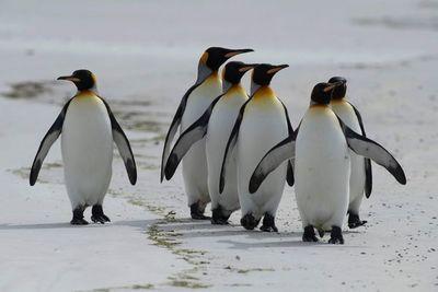 Las Malvinas apuestan por sus pingüinos rey para impulsar el turismo natural
