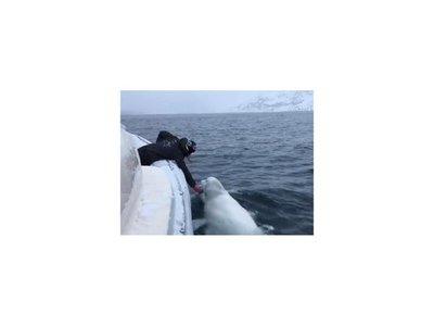 Marinero y beluga juegan con una pelota de rugby en medio del océano