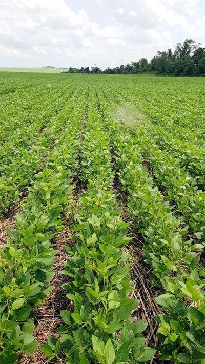 Desarrollo de  soja avanza con lo justo de humedad