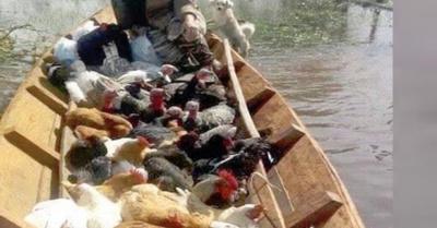 Durmió con gallinas y ¡hace parir a las vacas!
