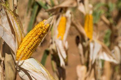 Paraguay gana terreno en el mercado del alcohol de maíz
