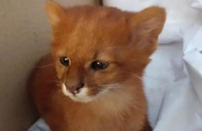 Joven rescató a un felino pensando que era un gato y a los meses descubrió la verdad