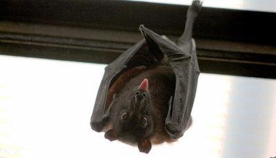 Salud Pública recomienda no tocar a los murciélagos para evitar accidentes