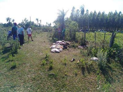 Cuatreros faenan dos vacas preñadas en Carapeguá