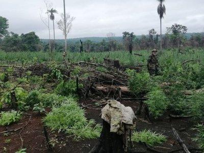 En Itapúa apuntan a la producción de cáñamo  en  zonas marihuaneras