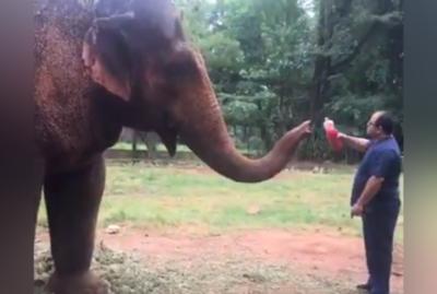 ¡Súper guapa! El tierno video de la elefanta Maia, tomando su remedio