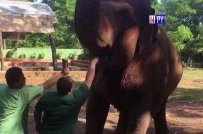 La elefanta Maia supera expectativa de vida