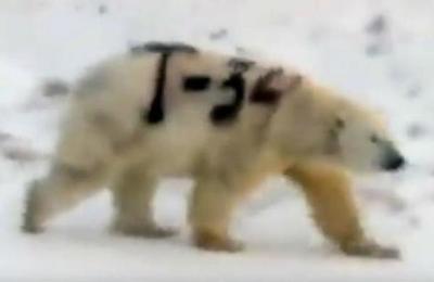 Captan a un oso polar pintado con el nombre de un mítico tanque soviético