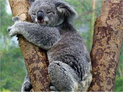 Unos 2.000 koalas murieron durante los incendios forestales en Australia