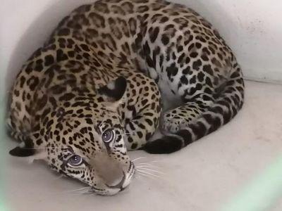 Xena, la princesa jaguareté que puede salvar a su especie