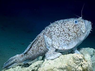 El pez que camina sobre sus aletas y practica el parasitismo sexual