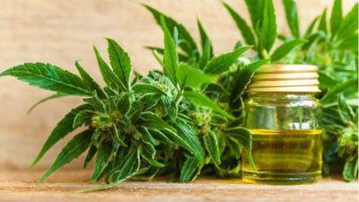 Traen 17 tipos de semillas de marihuana: probarán que variedcad prende mejor para iniciar cultivo masivo
