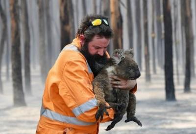 Koalas cerca de la extinción por terribles incendios en Australia