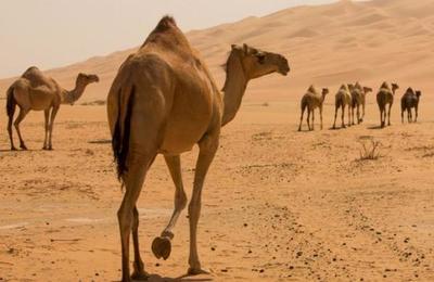 Sacrifican a más de 10.000 camellos en Australia porque beben demasiada agua