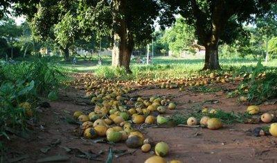 Buscan donantes de mangos para llevar a niños nativos del Chaco