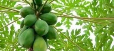 HOY / Hoja del mamón, antioxidante natural que aportaría al aumento de plaquetas en pacientes con dengue