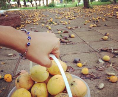 Realizarán colecta de mangos para niños chaqueños