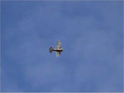 Crean robot volador con alas emplumadas