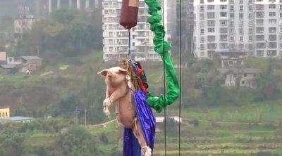 Promocionan parque lanzando a un cerdo al vacío