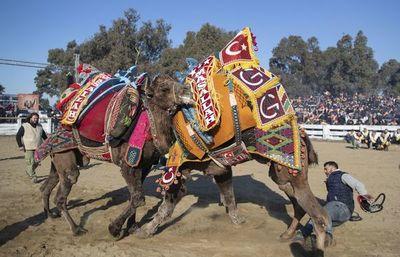La lucha de camellos, una pasión turca