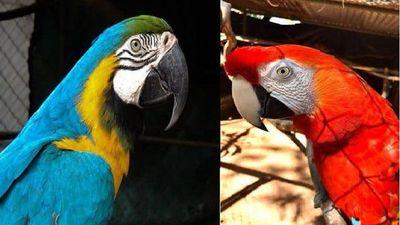 Roban dos papagayos del Zoológico de Asunción