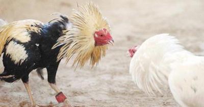 Gallo atacó a su dueño y le matoite