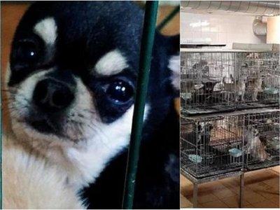 Hallan criaderos donde cortaban cuerdas vocales a perros chihuahuas
