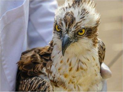 Muere águila que llegó a Kenia tras volar casi 7.000 kilómetros