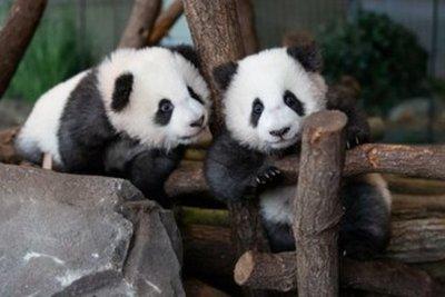 Primer día frente al público de los dos oseznos panda del zoo de Berlín
