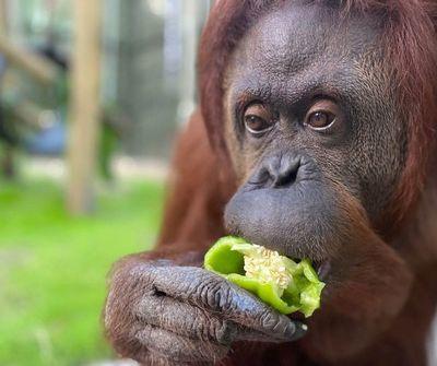 Chimpancés y orangutanes del jet set encuentran la paz en un retiro en Florida