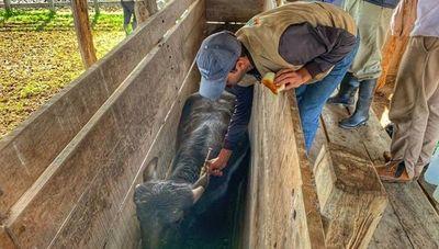 Vacunación 2020: inicia inmunización de 14 millones de bovinos
