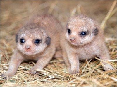 Nacen por primera vez suricatas en zoológico de Miami