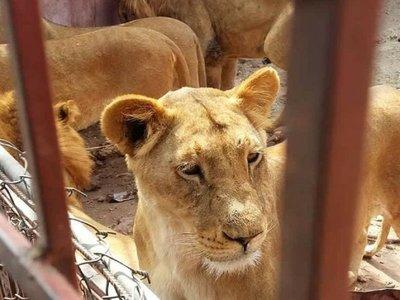En un Yemen en guerra, animales de los zoológicos luchan por sobrevivir