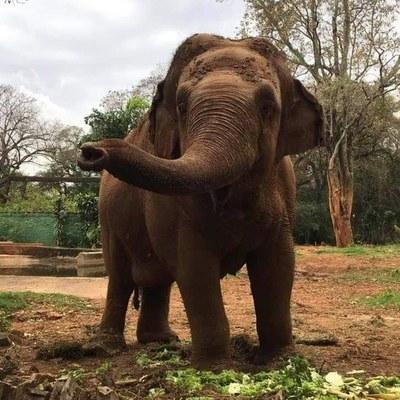 Falleció la elefanta Maia