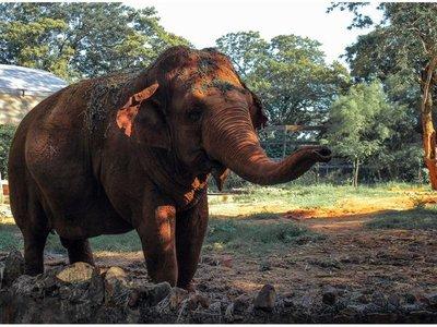 Muere la elefanta Maia en el zoo de Asunción