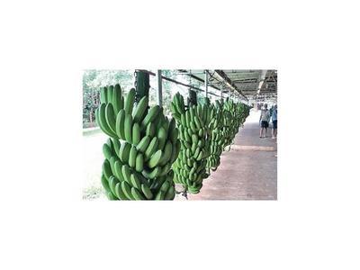 Exportadores de banana ajustan medidas sanitarias