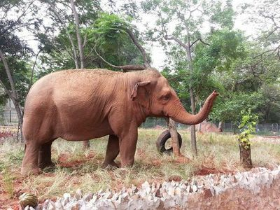 Muerte de la elefanta Maia, símbolo del Zoológico de Asunción: 'Nos duele a todos'