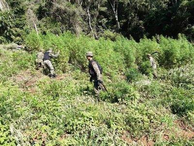 Destruyen plantación de marihuana en Tava'i