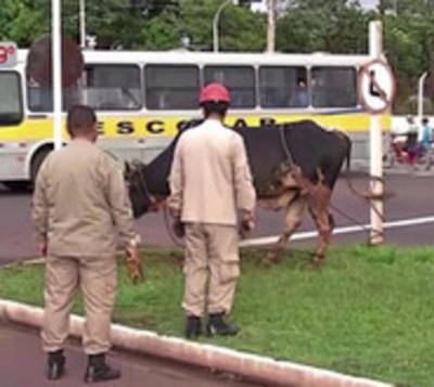 Toro causa  gran susto y hiere a un hombre en la vía pública