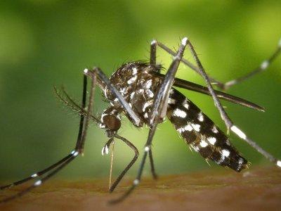 """Mosquitos """"alien"""" invaden las ciudades europeas"""