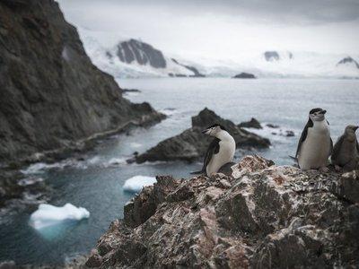 Población de pingüinos barbijo en Antártida cae hasta un 77%