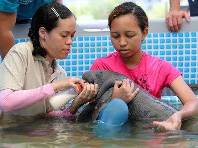 Manatí bebé es rescatada en Panamá y será rehabilitada