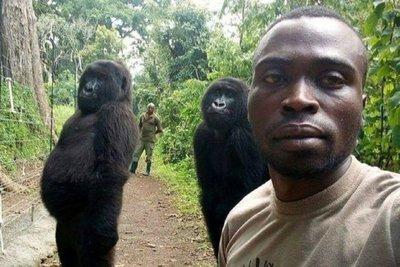 El peculiar motivo por el que gorilas posan de pie para una selfie
