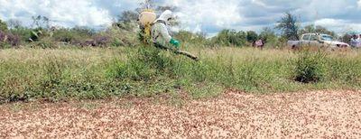 Cinco mangas de langostas acechan cultivos en el Chaco